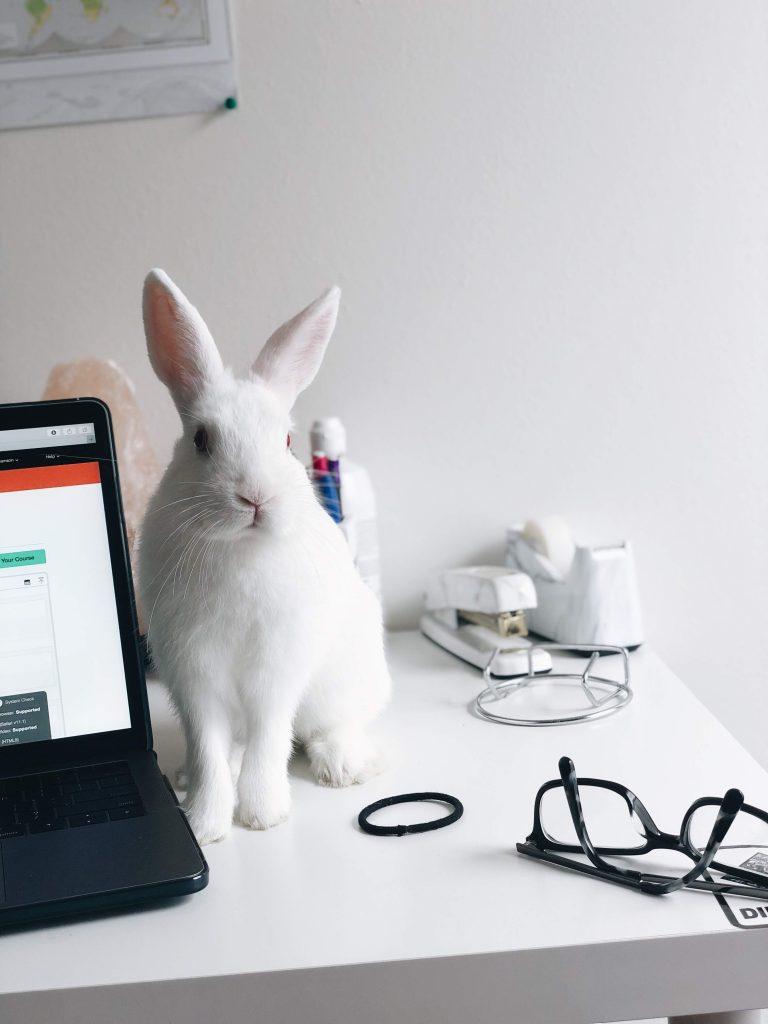white rabbit next to a lap top